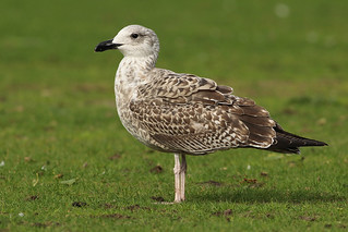 Geelpootmeeuw - Larus michahellis - Yellow-legged Gull | by merijnloeve