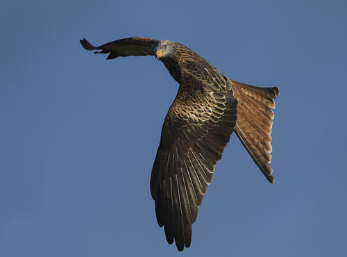 redkite raptor wildlife wild wings hawk beautiful bird nature avian amazing flying looking