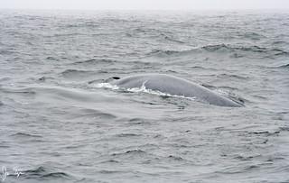 Blue whale near the Farallon Islands