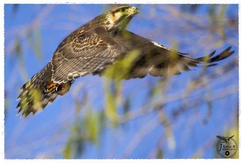 Buteo plagiatus, Gray hawk inmature | by Jaime Robles M.