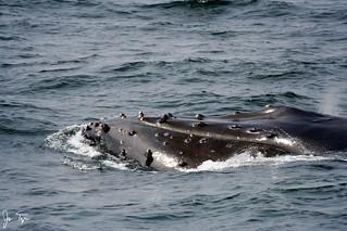 Humpback Whale near the Farallon Islands