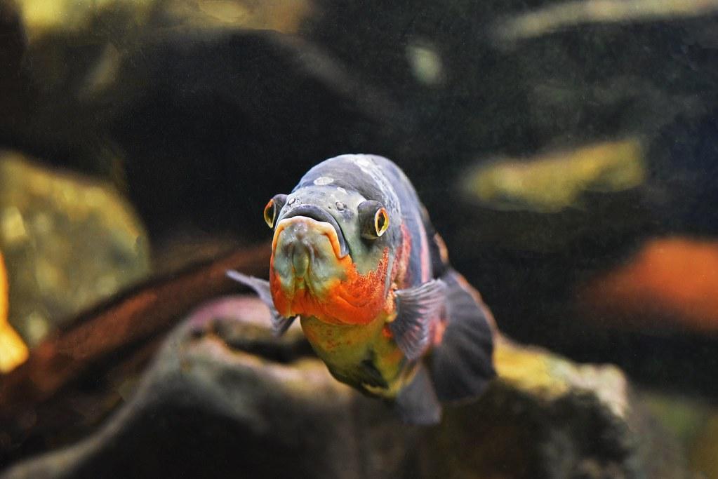 baršunasti ciklid (Astronotus ocellatus / Oscar Fish / Pfauenaugenbuntbarsch)