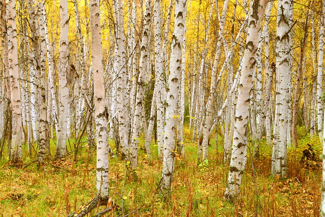 Alaska Paper Birch (Betula neoalaskana) forest around Creamer's Field, Fairbanks, Alaska