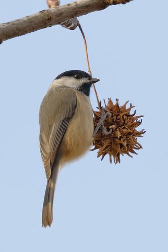 carolinachickadee chickadee poecilecarolinensis passerinebird passerine bird hanging nature wildlife animal kenilworth kenilworthpark kenilworthparkaquaticgardens washingtondc dc canon7dii sp225