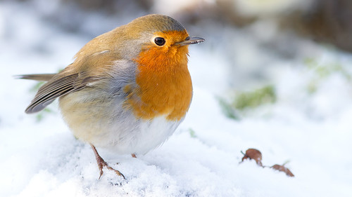 wimboon roodborstje robin bird canon7d canonef300mm f4l is usm sneeuw
