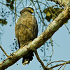 Crested serpent eagle (Spilornis cheela) by Nanimuroor