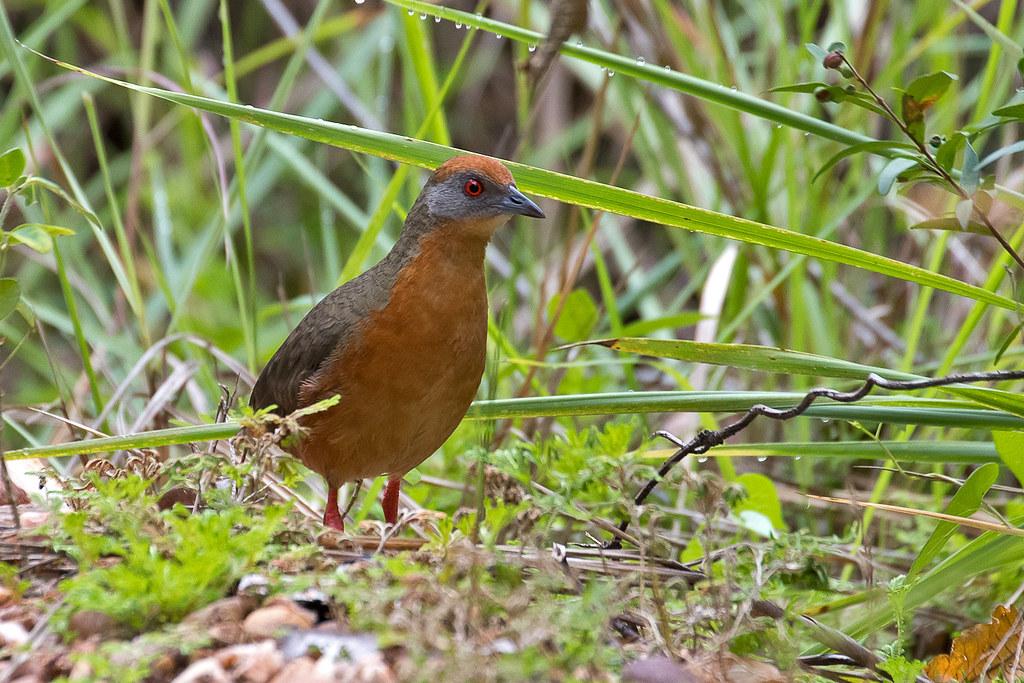 Imagen de una de las aves del Quindio: Polluela Coronirrufa ( Rufirallus viridis)