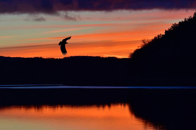 White-tailed eagle over Sövde lake