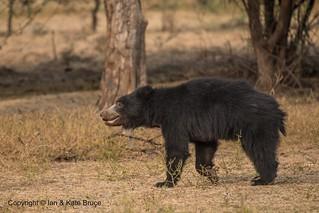 Bhalu the Sloth Bear | We like the Hindi name Bhalu, it is m… | Flickr