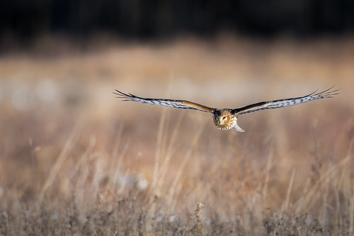 northernharrier wildlife polefarm winter nature bird harrier birdsofprey bif fly raptor birdsinflight field pennington newjersey unitedstates us nikon d7200