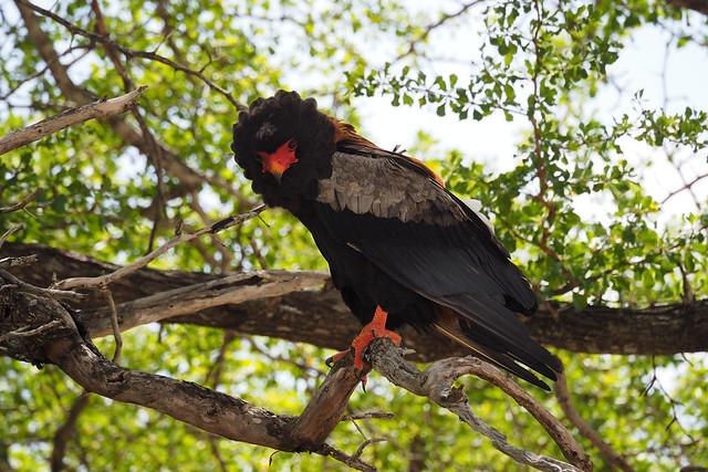 Batleur Eagle