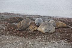 A splatter of elephant seals
