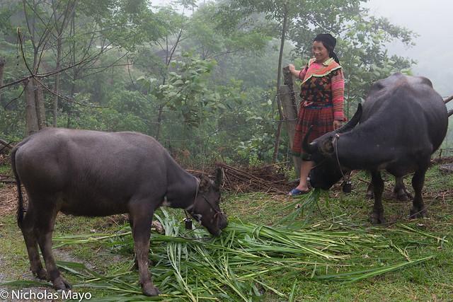 Hmong Woman With Her Buffalo