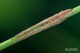 Crab spider (Monaeses sp.) - DSC_1753