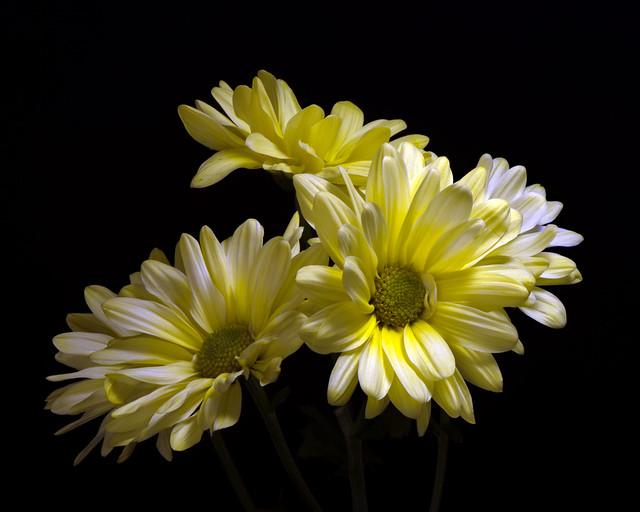 Yellow Daisy Cluster 0125