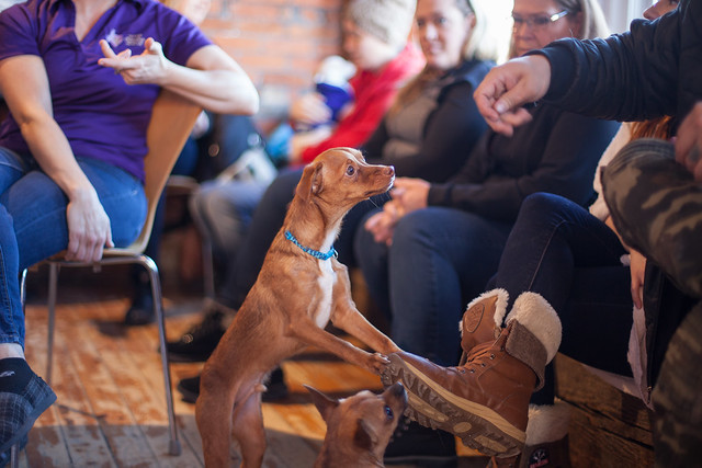 Chihuahuas Rescue Get Together - 13/365
