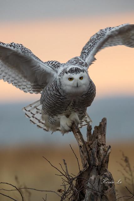 Snowy Owl - portrait at 1000mm.