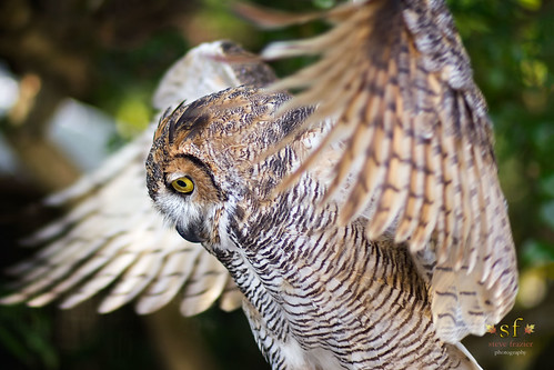 ambassador outside nature bella bird fowl outdoor googlenikcollection lightroom photoshop canoneos60d canon 60d image photo picture photograph stevefrazierphotography beautiful mangroves wings owl greathornedowl poncedeleonhistoricalpark charlottecounty charlotteharbor peaceriver fl florida prwc peaceriverwildlifecenter wildlife flapping spreading birds rehabilitation callie