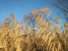 Common Reed - Photo (c) Andreas Rockstein, some rights reserved (CC BY-SA)