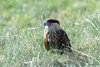 Young-Caracara by Chasing Photons