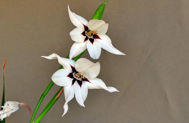 Gladiolus murielae Kelway / Iridaceae
