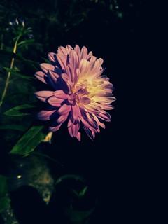 Calendula Flower.........
