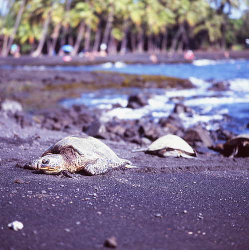 "Image titled ""Green Sea Turtles, Punalu'u Black Sand Beach."""