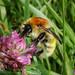Bombus muscorum (Moss Carder-bee, mainland form)