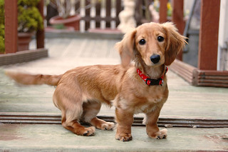Dachshund at 5.5 Months | by M McBey