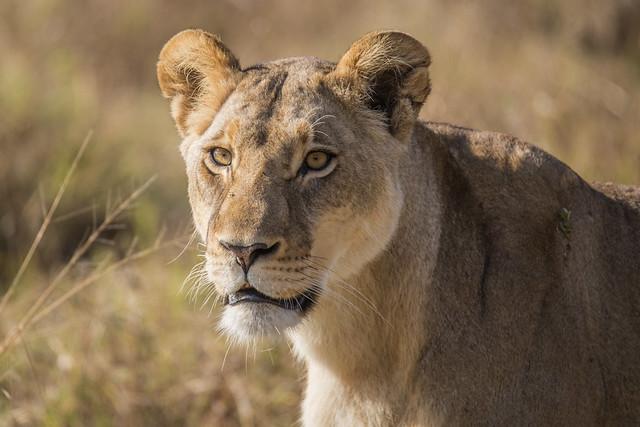 Lioness [Explored, thanks]