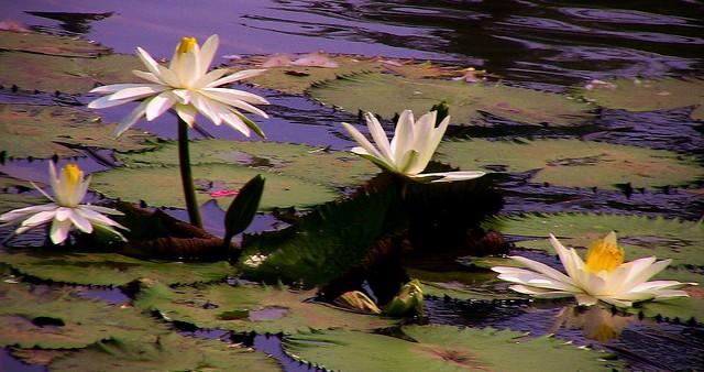 INDONESIEN, Im botanischen Garten von Bogor, Seerosen serie, 17064/9526