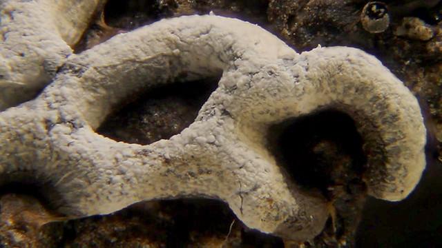 Physarum cf bitectum