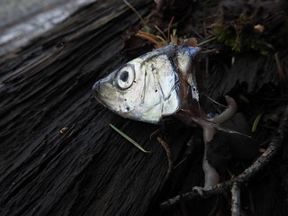 march 17 2017 11:59 - Herring head | by boonibarb