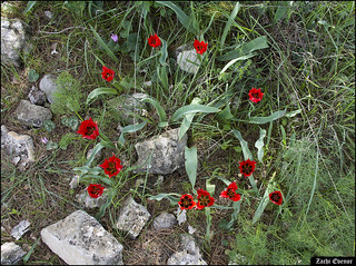 Circle of Fire - Tulips in Yaela-Flowers-IZE-216
