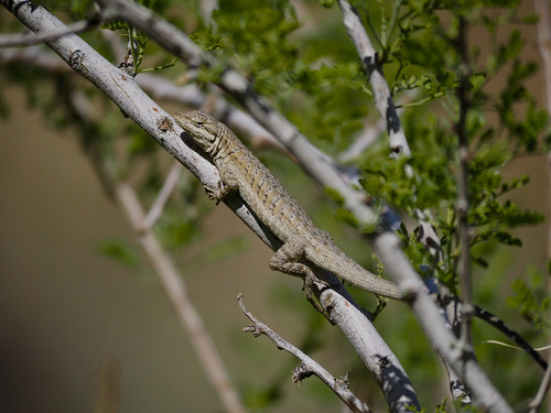Western Long-tailed Brush Lizard (Urosaurus graciosus graciosus) | by NicholasHess