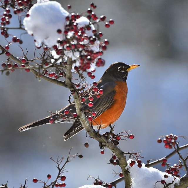 Robin in the Hawthorn . . .