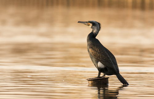 Cormorant at sunset_ | by Evelakes67