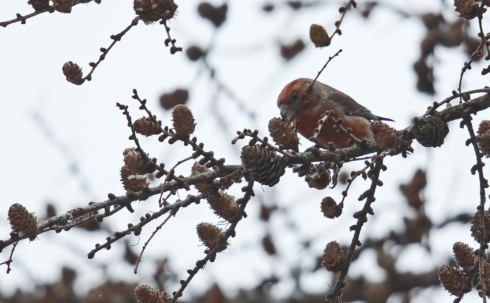 Parrot Crossbill - very challenging conditions!