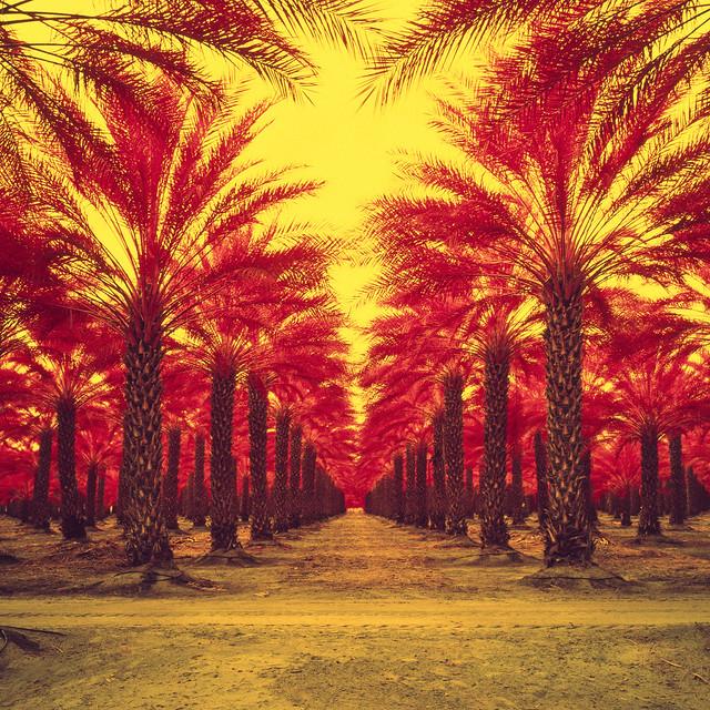 infinite palms (color infrared). mecca, ca. 2018.