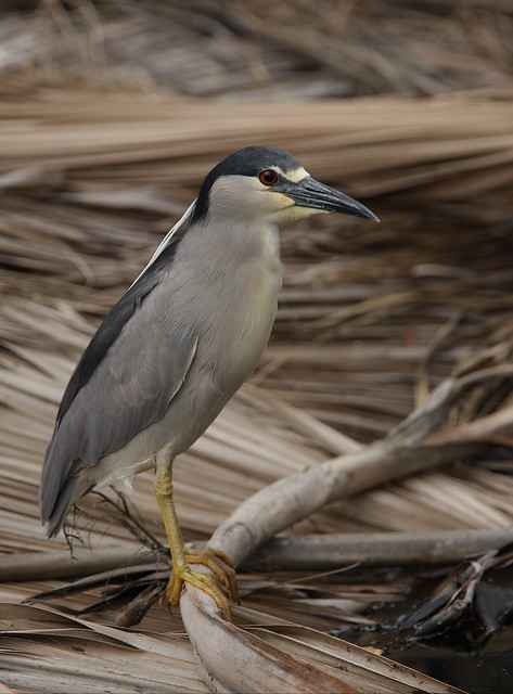1DM39292 View Large. Black-crowned Night Heron. Kaanapali Maui, Hawaii