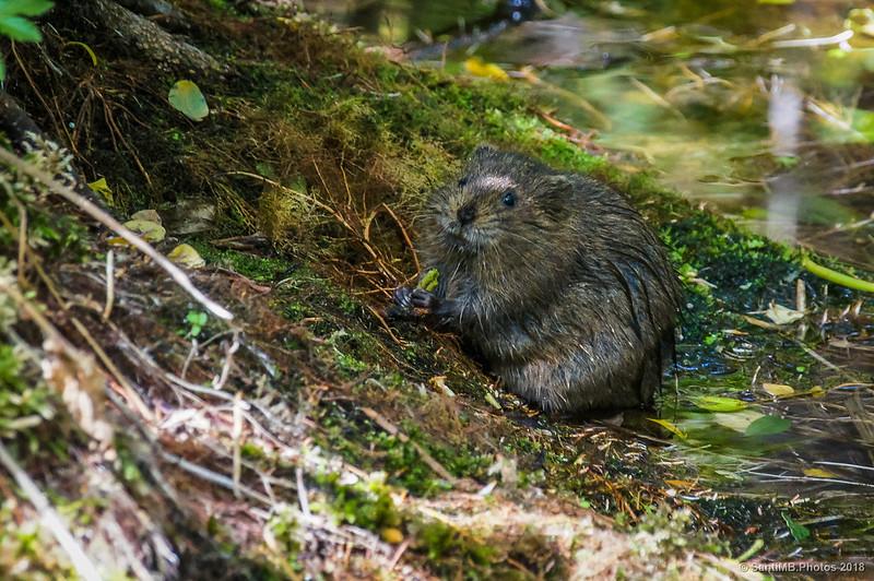 Rata de agua cerca del Brollador de l'Isard en Caldes de Boí