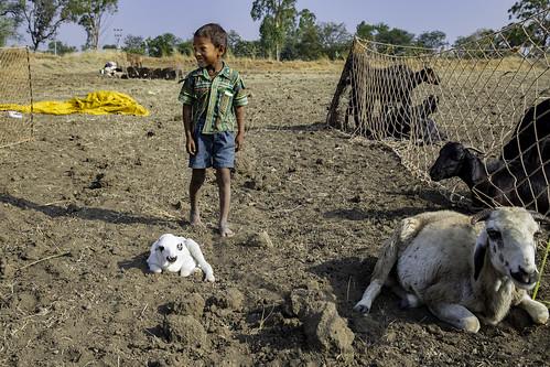 india children shepherd sheep ngc