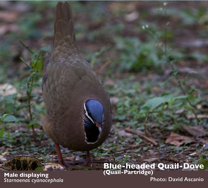 Blue-headed Quail-Dove_Starnoenas cyanocephala_Ascanio_Cuba_199A3736