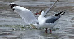 Brown-headed Gull - courtship display - Ladakh 4,350m Altitude