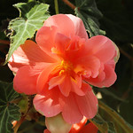 Begonia SP.   ベゴニア SP.