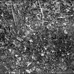 leaf compost bin VII, wire fencing, ivy, West Asheville, NC, Minolta Mac-Dual, Ilford FP4 , early February 2018