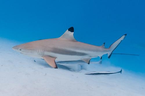 Blacktip Reef Shark, male with Sharksuckers - Carcharhinus melanopterus with Echeneis naucrates