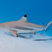 Blacktip Reef Shark - Photo (c) zsispeo, some rights reserved (CC BY-NC-SA)