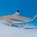 Tiburón Punta Negra - Photo (c) zsispeo, algunos derechos reservados (CC BY-NC-SA)
