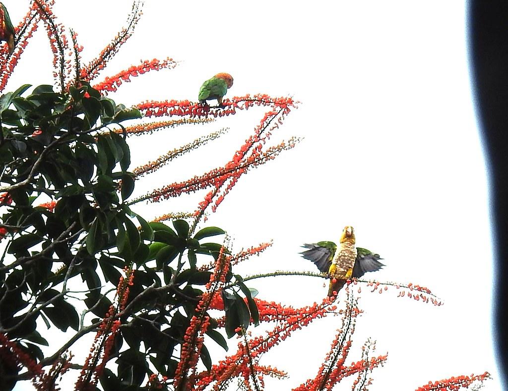 White-bellied Parrot / Loro de Vientre Blanco (Pionites leucogaster) en Manu Birding Lodge, Madre de Dios